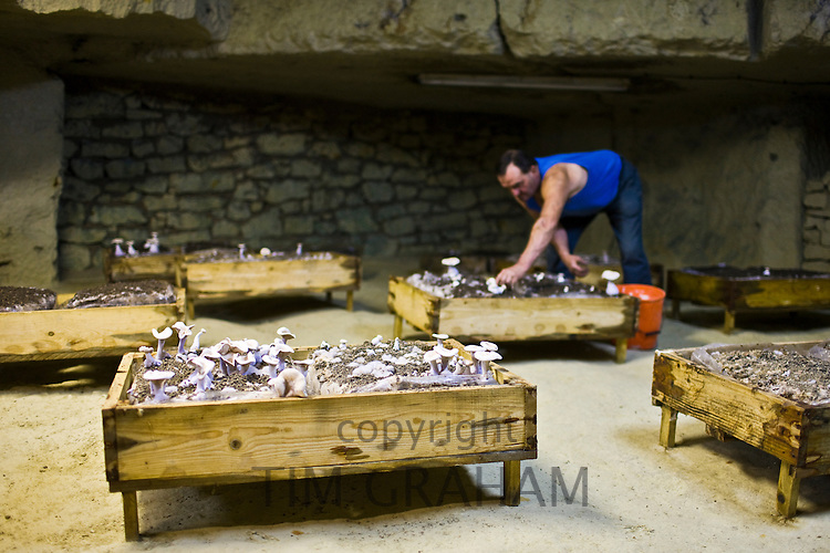 Wood blewit, Lepista nuda, mushrooms grow in underground troglodyte cave at Le Saut Aux Loups at Montsoreau, France