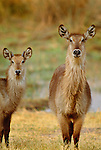 Common waterbuck,  Okavango River, Botswana