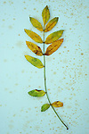 Single sprig of yellow autumn leaves of Rowan or Mountain ash or Sorbus aucuparia lying on antique paper  with some leaflets missing