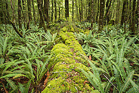 Moss covered tree logs with ferns in rainforest on Kepler Track, Fiordland National Park, Southland, World Heritage Area, New Zealand, NZ