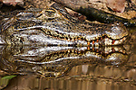 Five-foot long Uruguayan caiman emerge from a wetland in Brazil's Pantanal marsh. These midsized members of the crocodile family are not dangerous to humans because they are accustomed to being fed by local ranchers. When one of these bold reptiles came within six inches of me, I used my tripod leg as a largely symbolic barrier.