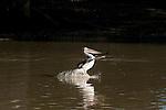 Australian Pelican (Pelecanus conspicillatus) landing along the Cooper Creek