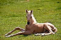 Quarter horse foal sitting on ground all legs within sun behind