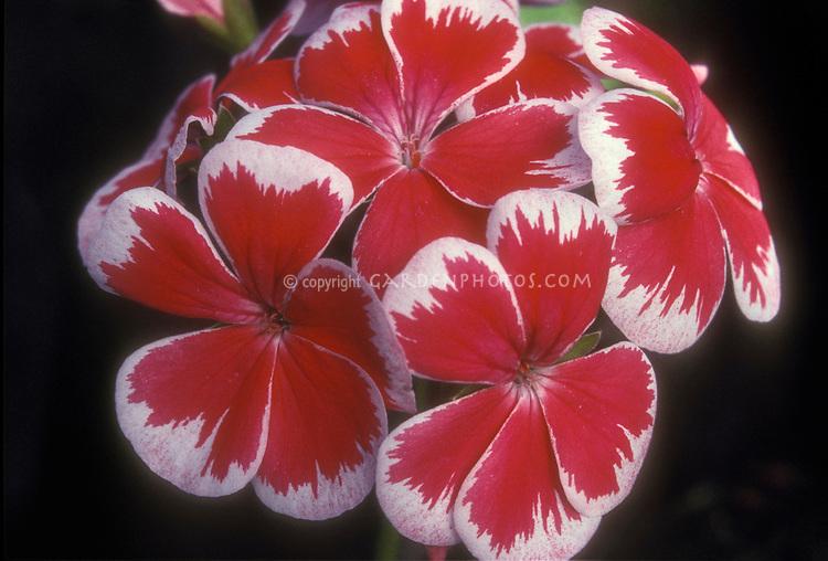 Pelargonium Mr Wren, dramatic old annual geranium, red with white picotee edges