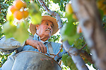 Apricot picking in Los Altos