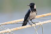 A Hooded Crow (Corvus cornix) in an urban environment