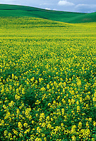 Mustard field in the Palouse region of southeastern Washington state.  Whitman County, WA