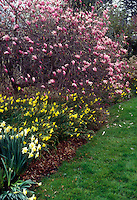 Magnolia x 'Jane' in spring bloom with daffodils &amp; lawn
