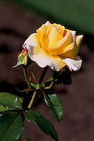 Yellow Rose blooming in Stanley Park Rose Garden, Vancouver, BC, British Columbia, Canada