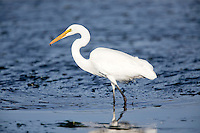 A great egret (Ardea alba) catches a small fish in Elkhorn Slough - Moss Landing, California.