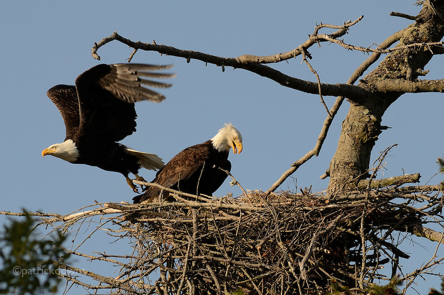 Mom comes home, Dad leaves. Week-old eaglets have been heard but not yet seen. Sequim, WA