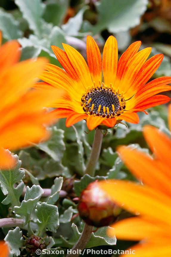 Arctotis hybridus (African Daisy) orange flower close-up
