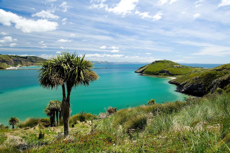 View of the albatross colony at Tairoa Head on a sunny summer's day.  Otago Peninsula, Dunedin.