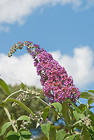 Butterfly Bush Buddleja davidii aka Buddleja davidii 'Bicolor' against blue sky and clouds