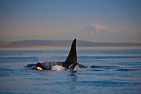Killer Whales (Orcinus orca ) surfacing off the San Juan Islands in Washington, USA with Mount Baker in the background.