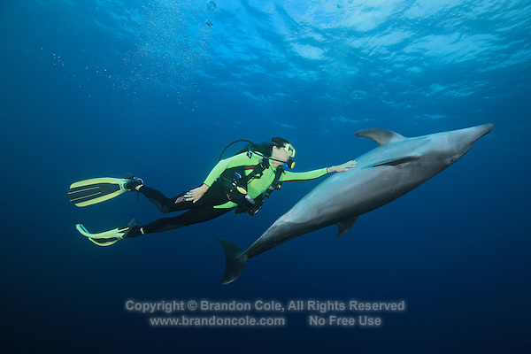 QT2196-D. Bottlenose Dolphin (Tursiops truncatus) seeks out and initiates touch interaction with scuba divers, here a woman (model released). Note that this is a wild dolphin, and has not been trained or fed. For some unknown reason, this particular dolphin in the Socorro Islands occasionally approaches scuba divers and positions itself immediately in front of divers and willingly accepts gentle stroking. Islas Revillagigedos, Baja, Mexico, Pacific Ocean.<br /> Photo Copyright &copy; Brandon Cole. All rights reserved worldwide.  www.brandoncole.com