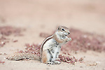 Barbary ground squirrel, Atlantoxerus getulus, feeding, Fuerteventura, Canary Islands. Introduced from North Africa