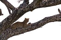 Leopard, Serengeti National Park, Tanzania, East Africa