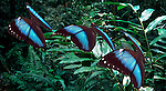 Morpho Peleides butterfly, flying in jungle, Central America, Belize, Costa Rica, digitally enhanced.Digital....