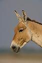 Dominant male Indian wild ass (Equus hemionus khur), portrait, close-up, dry season