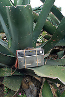 A radio plays ranchera music for the Del Razo field workers. The Del Razo family have discovered a way to can pulque without it exploding, this allows them to export to the US and Germany. Pulque route, Nanacamilpa Tlaxcala, Mexico June 5, 2007