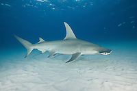 RR2549-D. Great Hammerhead Shark (Sphyrna mokarran). Tall dorsal fin, head shape, and huge size (to perhaps 6 meters and 500 kilograms) helps distinguish from other hammerheads. After a gestation of 11 months it gives birth to a litter of 3-42 pups. Bahamas, Atlantic Ocean.<br /> Photo Copyright &copy; Brandon Cole. All rights reserved worldwide.  www.brandoncole.com