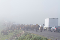 Bison on road in the early morning in Yellowstone National Park