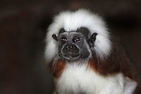 Cotton Top Tamarin (Saguinus oedipus) adult.