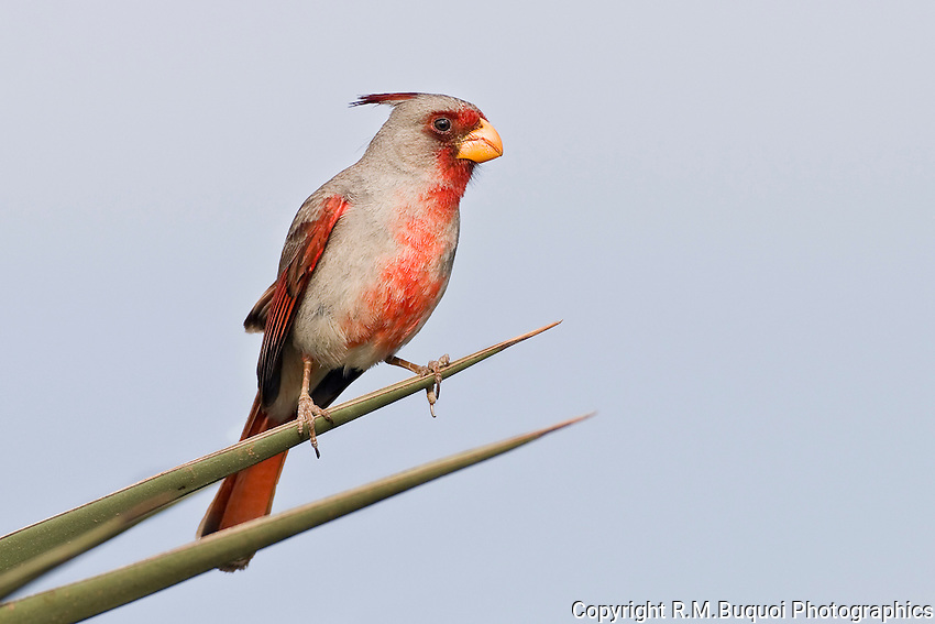Male Pyrrhuloxia perched on Yucca leaf