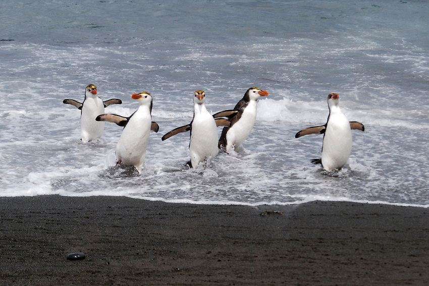 Happy Feet - A clutch of Royal penguins exiting the surf at Sandy Bay, Macquarie Island
