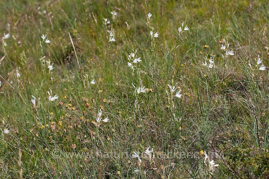 Astlose Graslilie, Traubige Graslilie, Zaunlilie, Anthericum liliago, St Bernard´s Lily