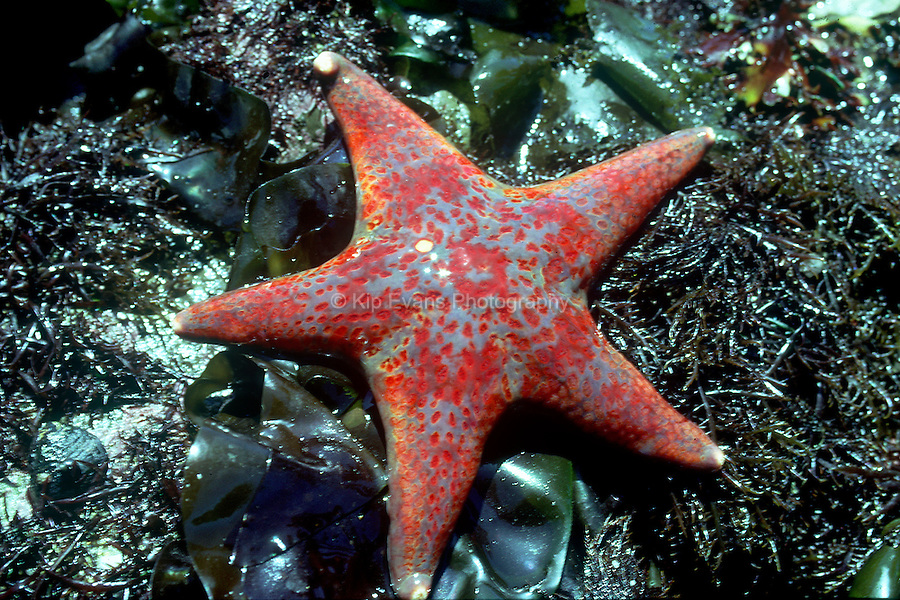 Leather Starfish Great Tidepool, Pacific Grove, CA