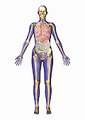 Biomedical illustration of human anatomy from the front showing the respiratory, digestive, and skeletal systems