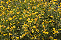 Birdsfoot Trefoil (Lotus corniculatus), Mt. St. Helens National Volcanic Monument, Washington, US, August 2005