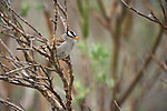 A White-crowned sparrow hops from branch to branch in a protective willow thicket along the Kongakut River.