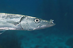Great barracuda with deformed upper jaw