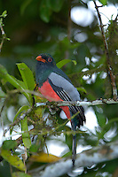 A female Slaty-tailed Trogon, Trogon massena, in Costa Rica