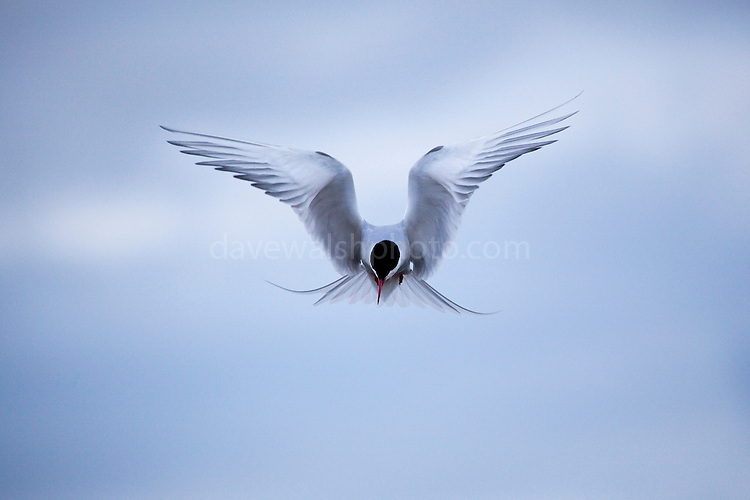 Arctic Tern ready to defend - and that means attacking the photographer - above its nest, which it constructed in gravel alongside a road at the scientific research base in Ny-&Aring;lesund, Svalbard, 1200km from the North Pole. Arctic terns migrate more than any other species of any known animal - up to 70,000km to Antarctica and back to the Arctic every year.<br /> <br />  Limited edition C-Type Prints available - contact me for more details.