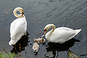 A Cob (male swan - left), Pen (female swan - right) and two cygnets on the lake in Wanstead Park, Redbridge, London.