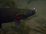 A rainbow trout looks at a fly on the surface.
