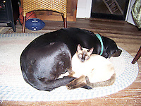 Black Lab and Siamese Cat, best buddies