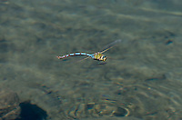339480002 a wild giant darner anax walsinghani in hover flight over a small stream near big pine inyo county california