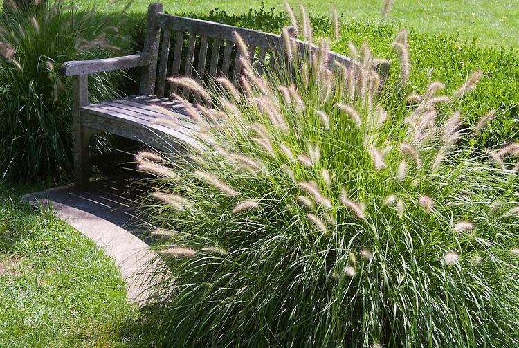 Pennisetum alopecuroides 39 hameln 39 plant flower stock for Grassy plants for landscaping