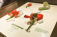 Scarlet Runner Bean, Phaseolus coccineus,  Glass Flowers Exhibit Harvard Museum of Natural History