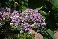 Hydrangea aspera subsp. sargentiana in flower