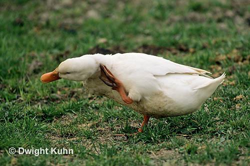 DG13-013x  Pekin Duck - adult scratching with feet