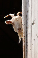 Domestic Goat (Capra aegagrus hircus) peering out of barn,  Pennsylvania, USA.
