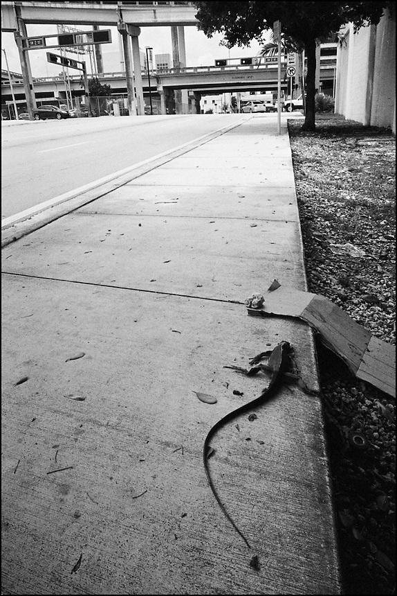 Iguana<br /> From &quot;Miami in Black and White&quot; series. Miami, FL, 2009