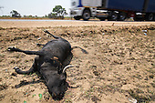 A cattle lays dead on the side of the highway in Masvingo Province, Zimbabwe, after probably being hit by a car.<br /> <br /> Poor resources allocation means roads are narrow, potholed and mostly unlit in Zimbabwe. <br /> <br /> Drought in southern Africa is making things worse, devastating communities in Zimbabwe, leaving 4 million people urgently in need of food aid. The government declared a state of emergency,. <br /> <br /> Here in Masvingo Province, the country's hardest hit province, vegetation has wilted, livestock is dying, and people are at serious risk of famine. <br /> <br /> Pictures shot by Justin Jin