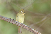 530040005 a wild cordilleran flycatcher empidonax occidentalis perches on a dead branch on mount lemmon near tucson arizona united states